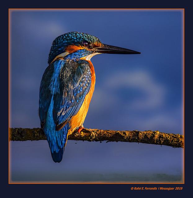 Mascle de blauet 47 (Alcedo atthis) Male Common Kingfisher (El Perelló, la Ribera Baixa, València, l'Horta, Spain)