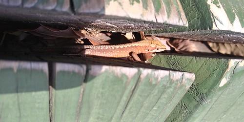줄장지도마뱀 | 안양예술공원