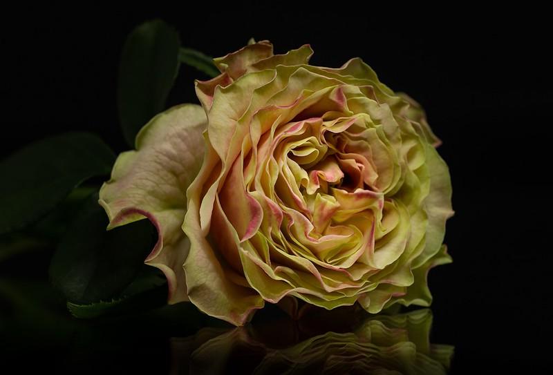 Обои желтый, отражение, роза картинки на рабочий стол, раздел цветы - скачать
