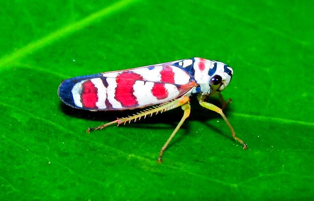 Clownleafhopper Agrosoma pulchella (Hemiptera:Cicadellidae)