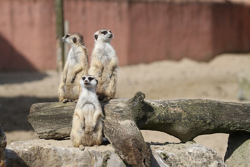 Erdmännchen / Meerkats - Pairi Daiza - April 2015 | by Massai_1