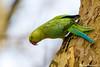 Perruche à collier  (Psittacula krameri) - Parc de Sceaux
