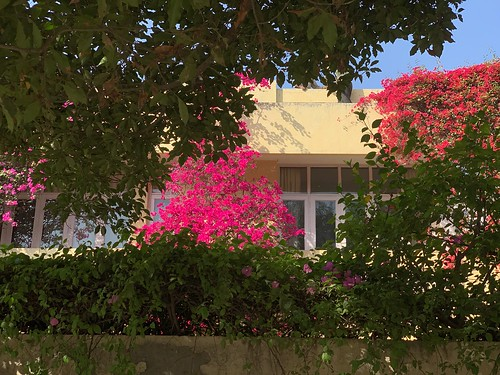City Season - Bougainvilleas in Bloom, Vasant Vihar