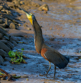 Bare-throated Tiger Heron - male | by Rob Eyers