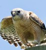 Red-shouldered Hawk by barbmerrill2