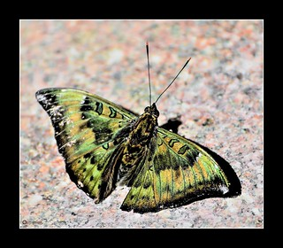 """""""A moth may be a poor cousin to a butterfly, but it is still beautiful none the less."""""""