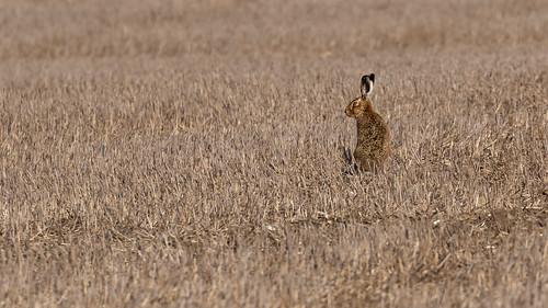 Local Hare