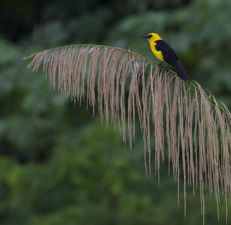 Oriole Blackbird, Gymnomystax mexicanus Ascanio_Peruvian Amazon 199A6551