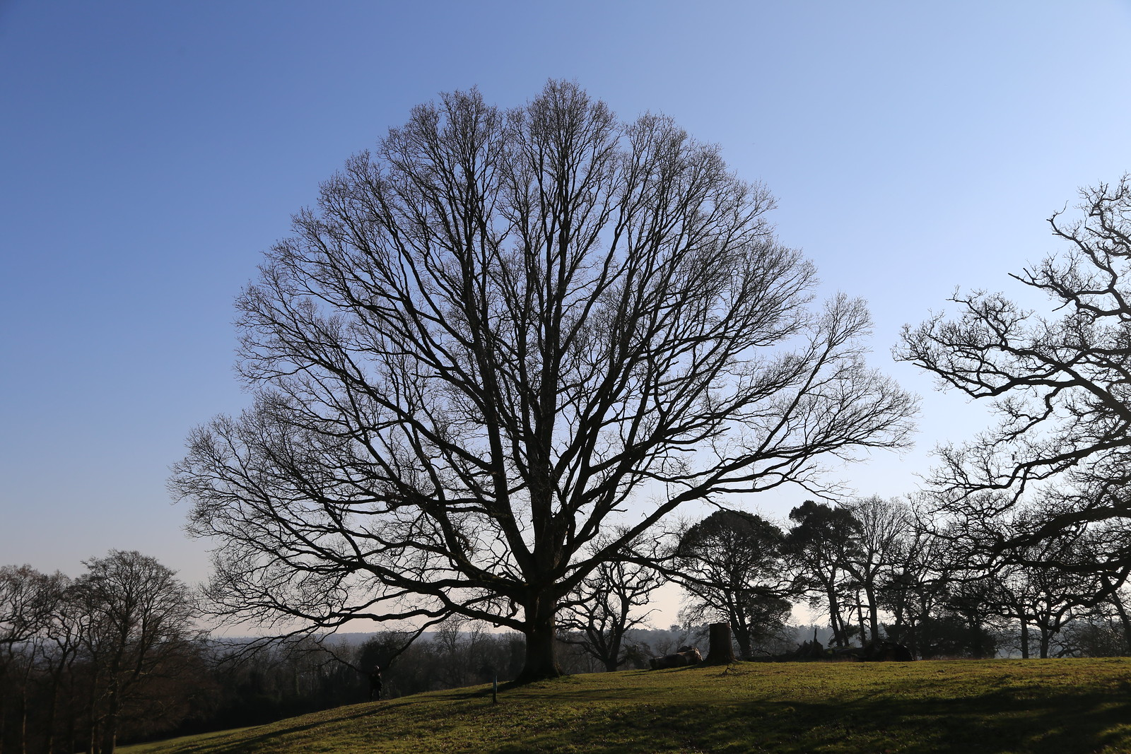 Majestic Oak (same tree) - North of Henley