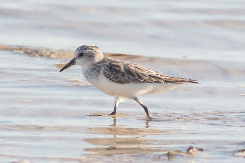 Red-necked Stint | by steve happ