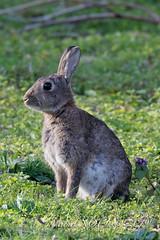 Oryctolagus cuniculus - Lapin de garenne - Lapin commun - European rabbit : Michel NOËL © 2019--11.jpg
