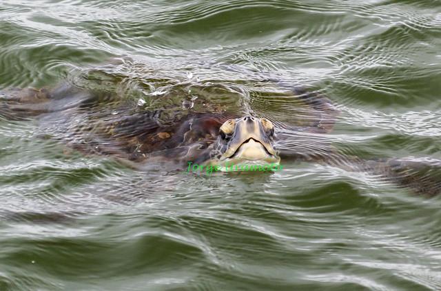 Sea Turtles at Santos city 3