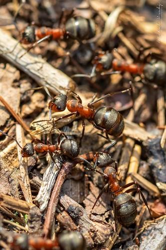 Mravenec lesní (Formica rufa L.) | by Michal Hruby Photography