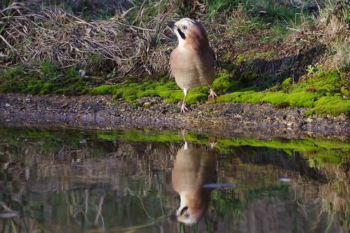 jay garrulusglandarius wild bird wildlife nature sandy rspb bedfordshire thelodge