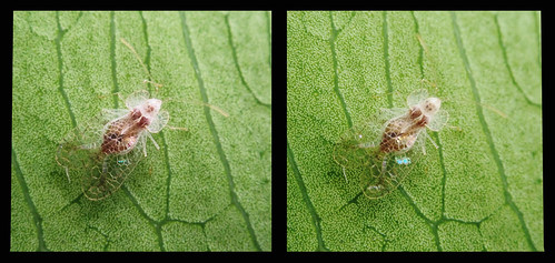 Stephanitis typica: cross view 3D | by DocJ96