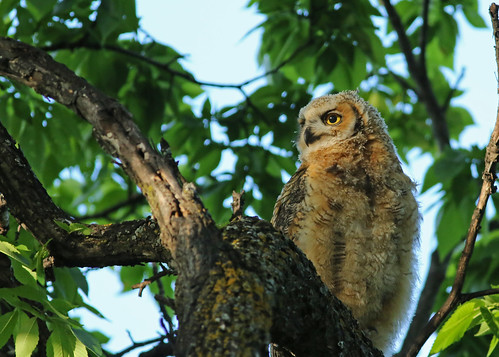 Great Horned Owlet...#7