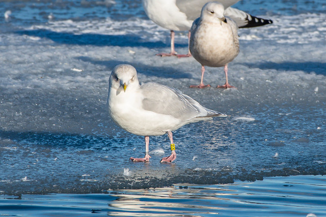Iceland Gull, K6, left leg band, yellow band , Quidi Vidi Lake