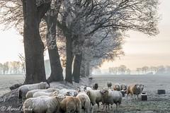 Holthe Drenthe Schapen winter