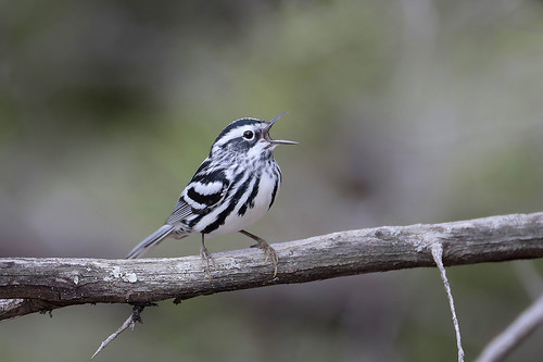 Black-and-white Warbler | by Greg Lavaty Photography