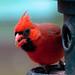 Male cardinal by leehobbi