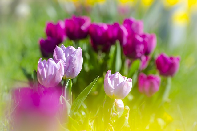 A colorful sea of tulips 💐
