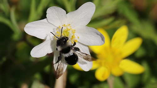 Ashy mining bee ~ Andrena cineraria {explored}