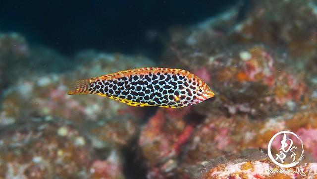 ノドグロベラ幼魚ちゃん♪