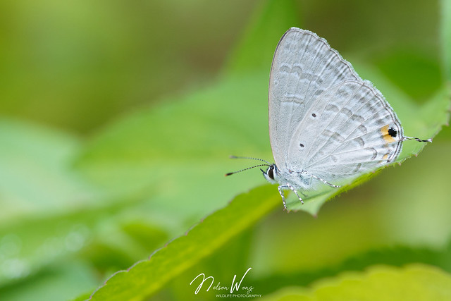 Forget-me-not (Catochrysops strabo) 咖灰蝶