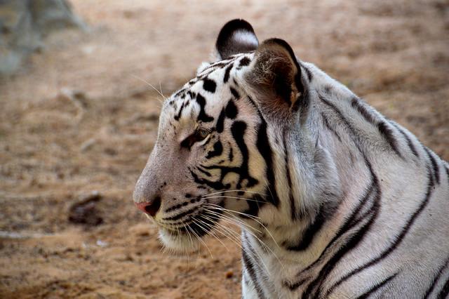 White Bengal Tiger (Panthera tigris tigris)