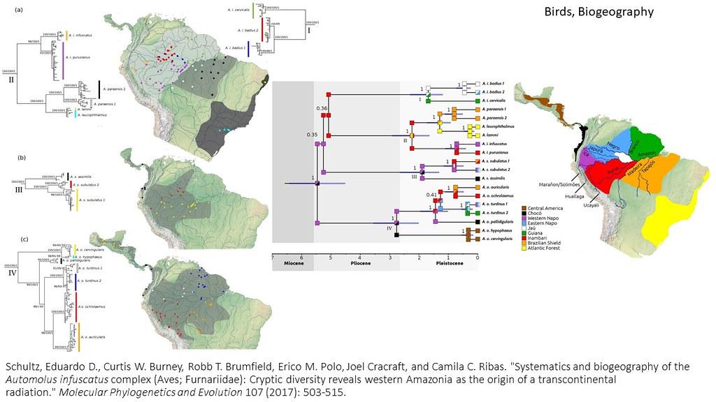 Schultz et al. 2017 - Systematics and biogeography of the Automolus infuscatus complex