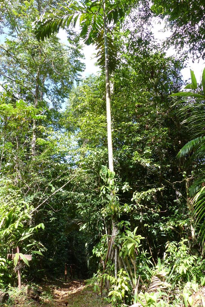 Wander-Palme (Socratea exorrhiza)