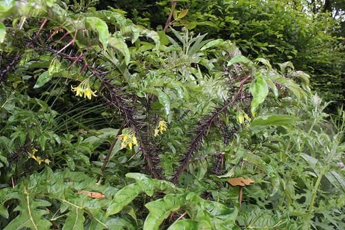 Solanum atropurpureum - diable pourpre 32668471768_5a565fb211