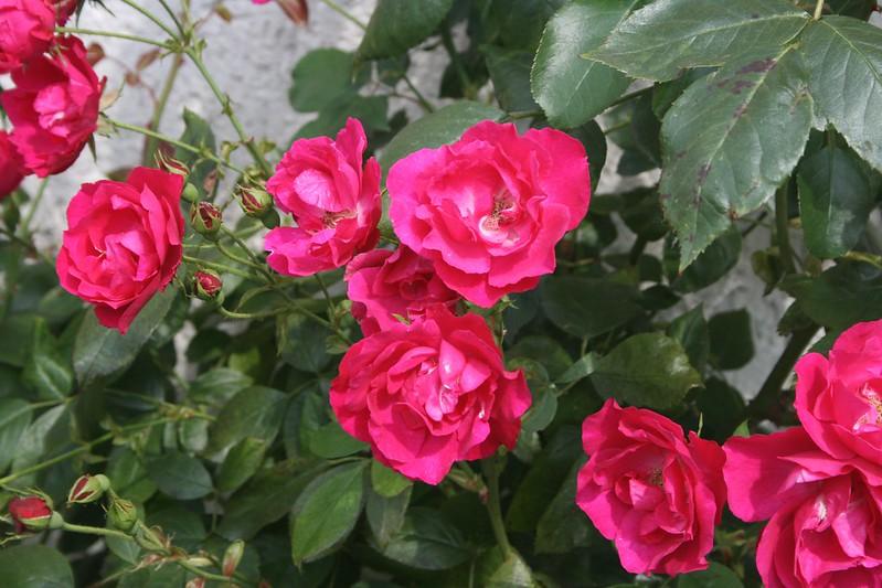 Обои Куст, Розы, Roses картинки на рабочий стол, раздел цветы - скачать