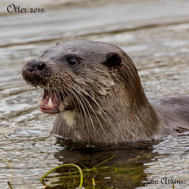 Otter ( female ) at Santon Downham 12/02/19.