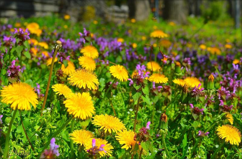 Обои Поляна, Цветочки, одуванчики, Flowers, Цветение, Flowering картинки на рабочий стол, раздел цветы - скачать