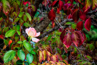 Fall Rose   by Sierra Springs Photography