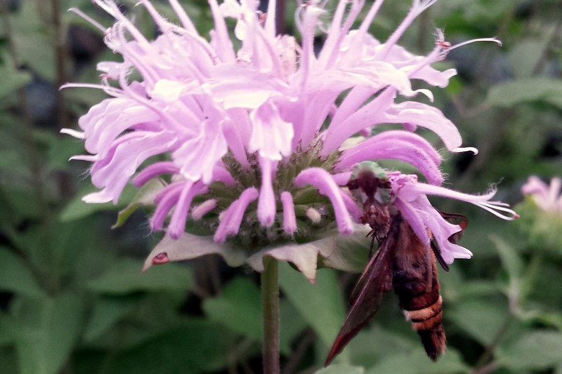 A large insect at the edge of a monarda blossom.