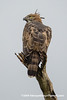 Crested Hawk-eagle (Nisaetus cirrhatus ceylanensis), adult DSC_0724 by fotosynthesys