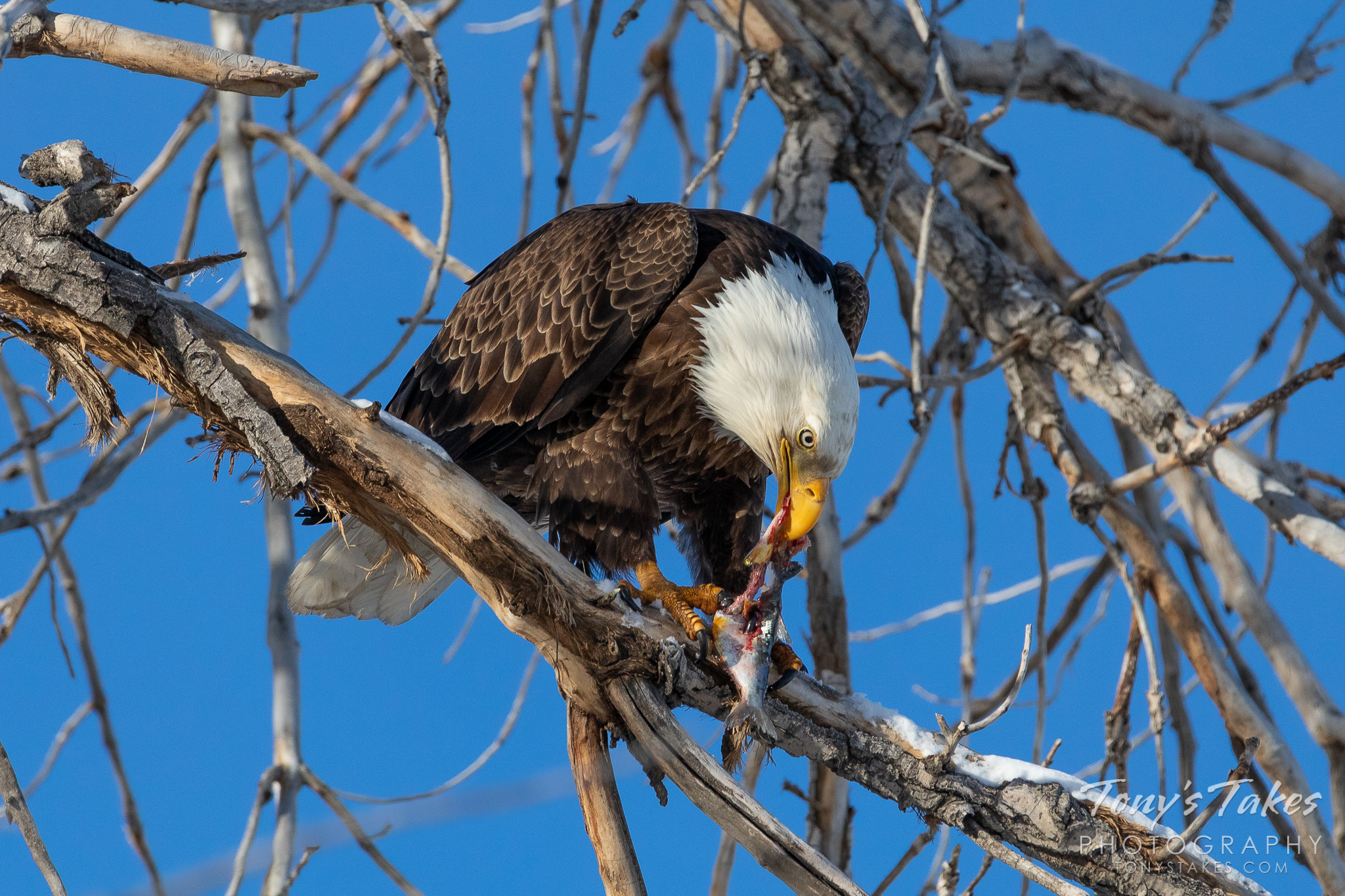 A bald eagle dines on a fish it caught from a pond in Adams County, Colorado. (© Tony's Takes)