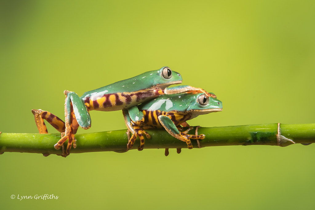 Outta my way - Super Tiger Legged Waxy Monkey Leaf Frog D50_8070.jpg