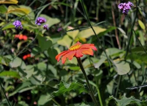 Tithonia rotundifolia - soleil du Mexique 45816182334_27d127f192