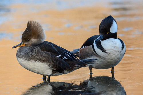 birds nikon nikond7100 tamronsp150600mmf563divc jdawildlife johnny portrait closeup eyecontact mergansers merganserhooded hoodedmerganser wow composition brilliant