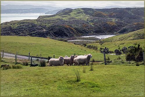 pencarrowlodge sheep view wellington schaf schafe newzealand aussicht landscape landschaft outdoor nature natur topaz topazstudio tier tiere animal animals rx100m6 004588 sonntagstierchen