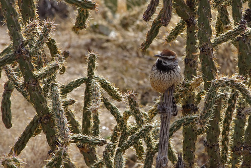 Cactus Wren (Campylorhynchus brunneicapillus).  Embudito Canyon,  Sandia Mountains,  New Mexico. USA.
