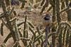 Cactus Wren (Campylorhynchus brunneicapillus).  Embudito Canyon,  Sandia Mountains,  New Mexico. USA.