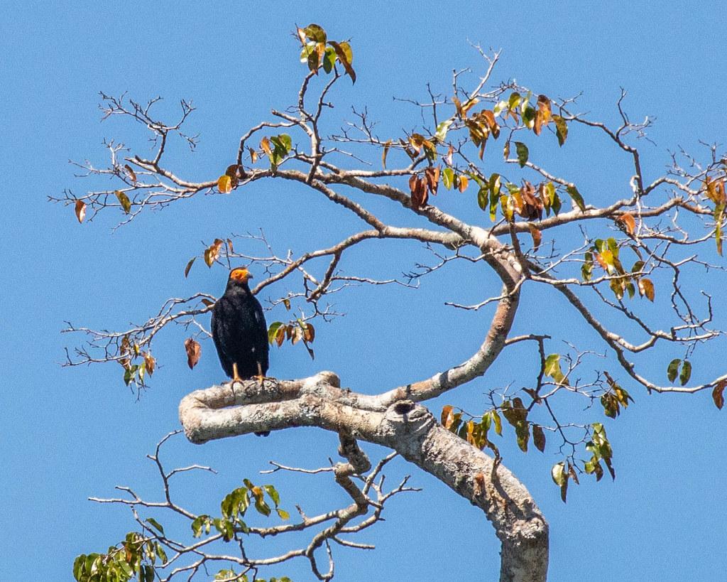 CARACARA, Black