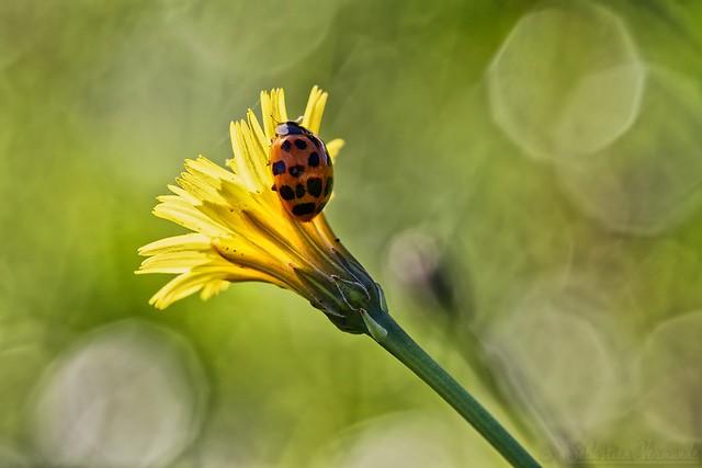 Coccinellidae - Ladybug - Coccinelle