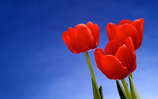 bright red tulips   by Wadhurst Brass Band