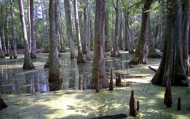 Tupelo - Baldcypress Swamp