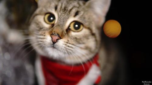 cat animals streetcat lobby bar christmas sonyalpha sony a6000 sonya6000 sigma3014 sigma artphotography nature nofilters cafe greece alkmini beautifulcat merrycristmas happynewyear